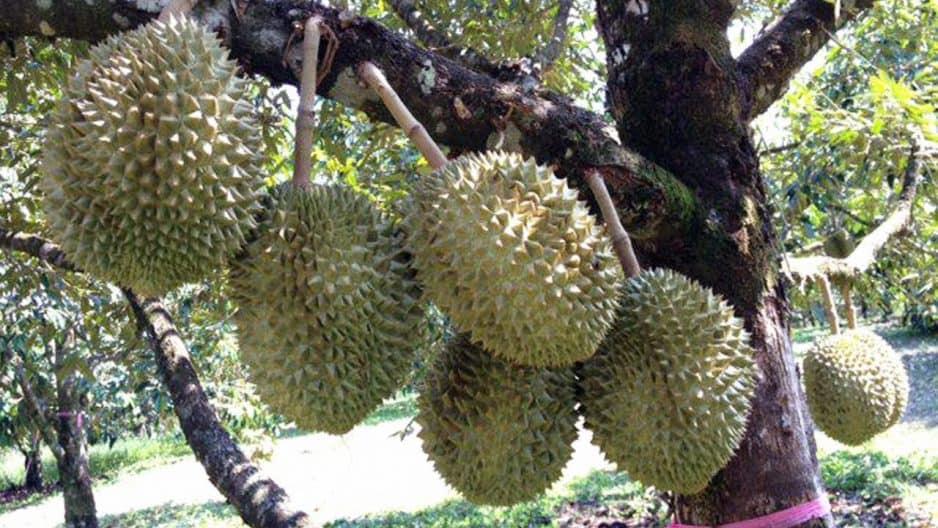 durian montong madura